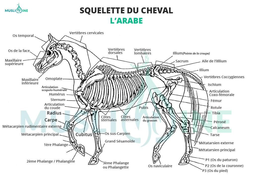 squelette du cheval arabe muslim mine